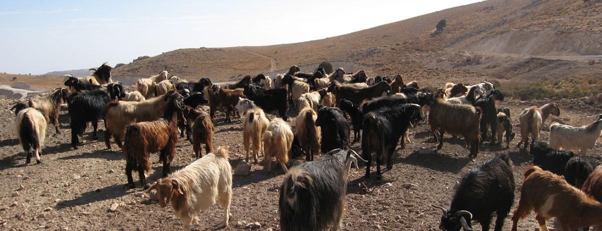 الجمهور، الماعز، إلى داخل، جورد، الهرمل
